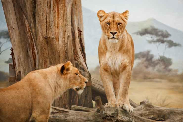africa-animal-big-carnivore-41178.jpeg